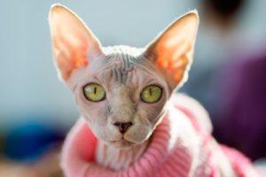 The hairless sphynx cat