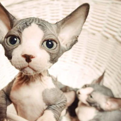 Sphynx Cat - Rare and Unusual