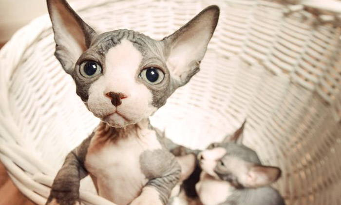 Sphynx Cat - Rare and Unusual