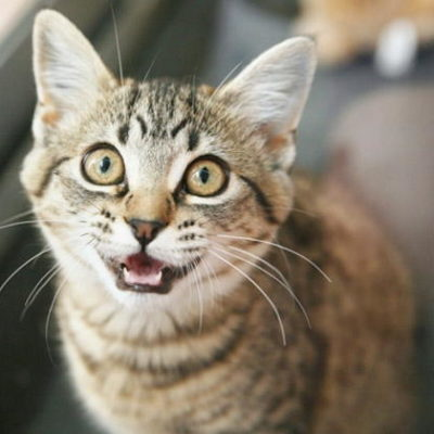 7 Reasons for Cats Meowing All the Time