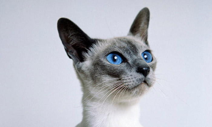 Siamese Cat Characteristics that You Will Love