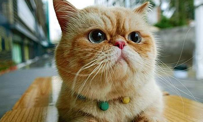 Exotic Shorthair Cat Personality And Character Ourfriends4ever