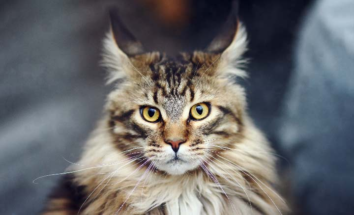 Maine Coon Cat vs. Norwegian Forest Cat Behavior