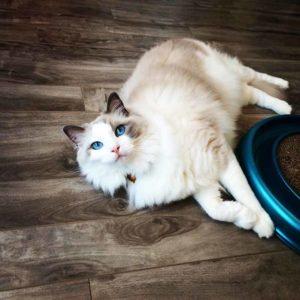 Ragdoll Cat Behavior