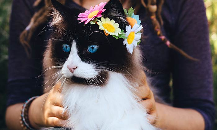Ragdoll Cat Personality and Behavior