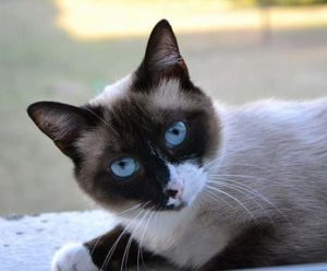 Snowshoe Cat Personality