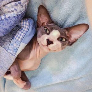 Sphynx Cats are active cats