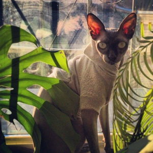 Sphynx cat is almost a hairless cat