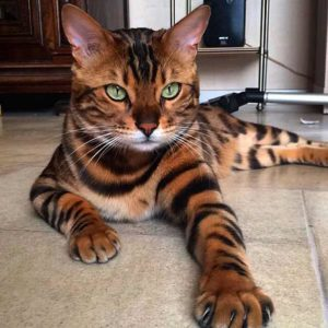 Bengal cats and their devotion to family members