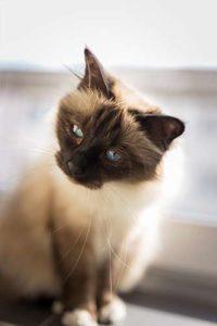 Birman Cat Behavior and Personality
