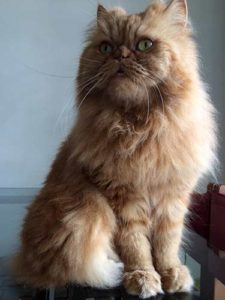 Persian cats can survive for approximately 17 years