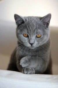 Russian Blue Cat is quite Mature und loveable