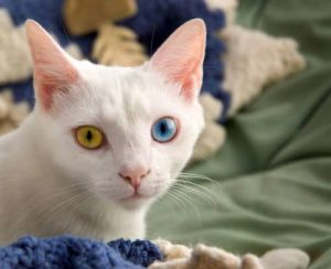 The Turkish Van Cat breed has their own personality and characteristics