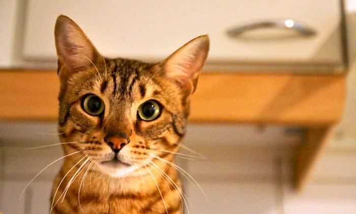 Guide to Bengal Cat Behavior