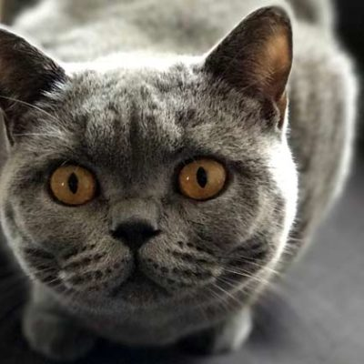 British Shorthair Cat Behavior