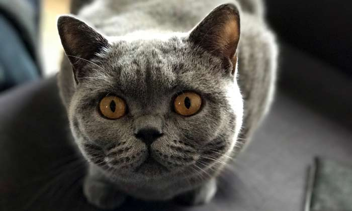 British Shorthair Cat Behavior