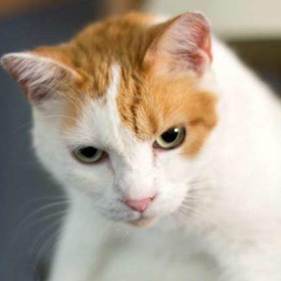 Guide to Japanese Bobtail Cat Behavior