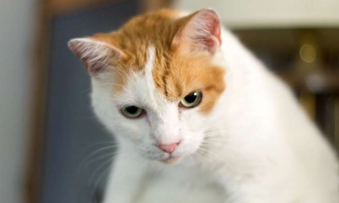 Guide to Japanese Bobtail Cat Behavior