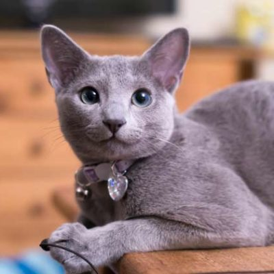 Russian Blue Cat Behavior Explained