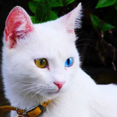 Turkish Van Cat Personality and Behavior